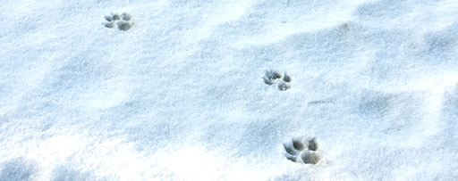 Wolf paw prints in snow