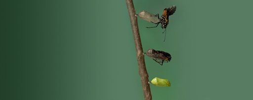 Monarch Butterfly emerging from chrysalis