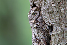 Side view of owl sitting in tree hallow