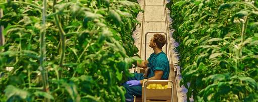 Man harvesting tomatoes in a greenhouse