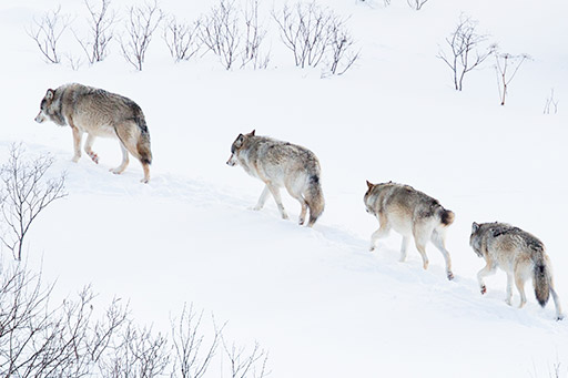 Pack of wolves in a winter forest