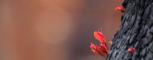 Buds and leaves emerge from a tree trunk after bushfires