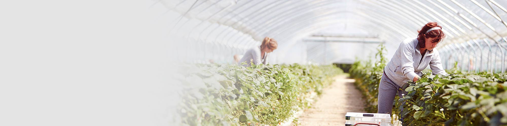 Farm worker harvests crop in large greenhouse