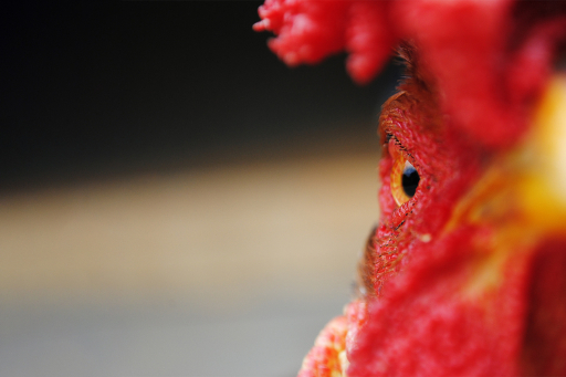 Rooster close-up
