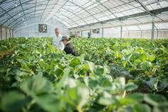 People working in greenhouse