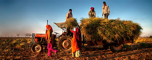 Farmers loading crops in tractor