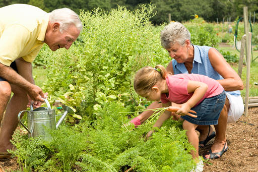 A little girl gardening with her grandparents