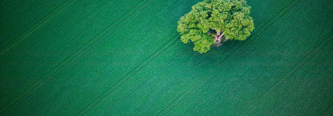 Oak tree in a green field