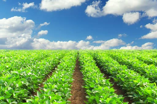 Green leafy vegetables growing in a field