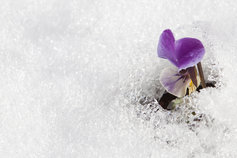 flower growing on ice