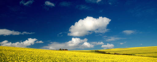 yellow field with big cloud
