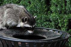 Raccoon on a bin