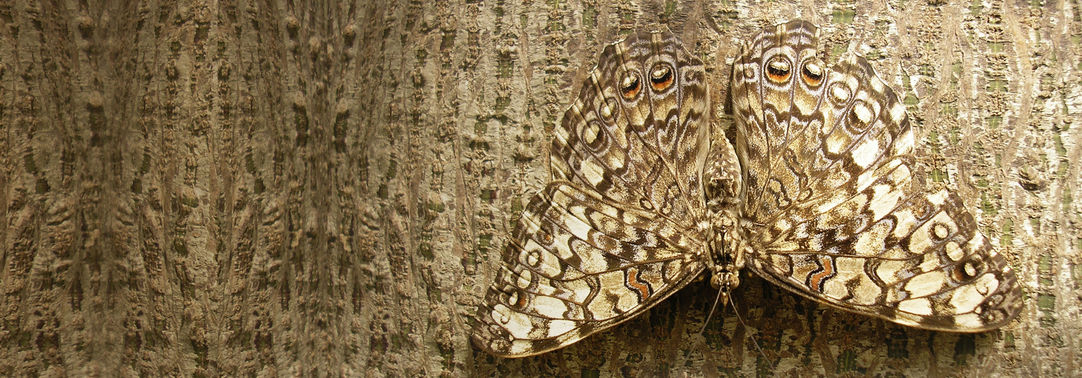 Camouflaged butterfly on the bark of a tree