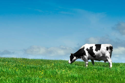 Cow eating grass in field with blue sky