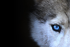 Eye of a wolf