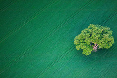 oak tree green field