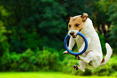 Skills Matter: How the UK can become a learning country - Dog playing and jumping with ring in mouth in lawn