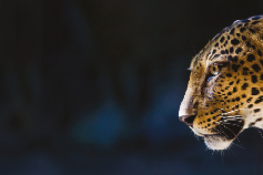 Banking Transformation - /leopard-face