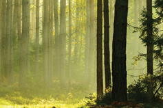 trees in a hazy forest