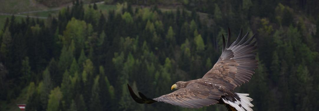 Eagle flying on green forest