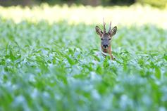Deer in green bush