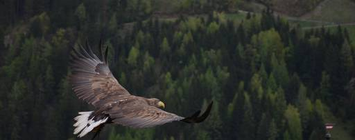 Eagle flying above green forest