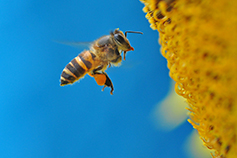 Honey bee over yellow pollen against blue background