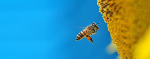 Honey bee over yellow pollen