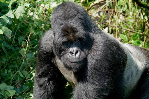 Closeup of Gorilla in green forest