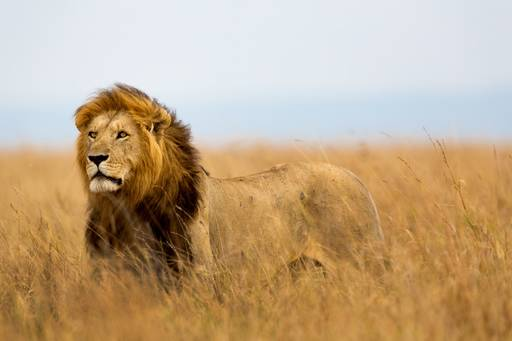 Lion standing in a field