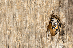 tiger watching through a hole in wooden bars
