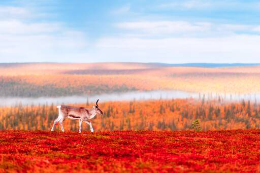 Reindeer up in the hills covered with red flowers and grass