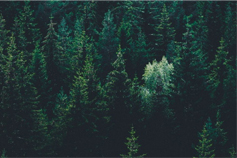 Top view of forest full of green pine trees