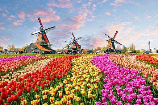 Windmill, colourful flowers in Netherlands