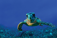 Giant turtle swimming under sea