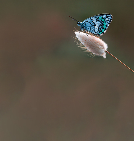 Blue butterfly sitting on white flower