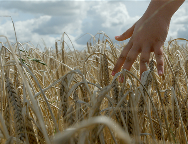 hands in wheat crops