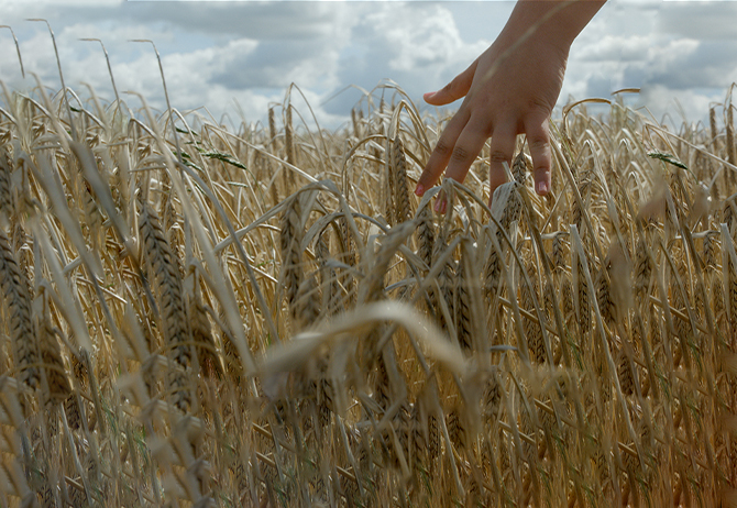 Hand in wheat stalks