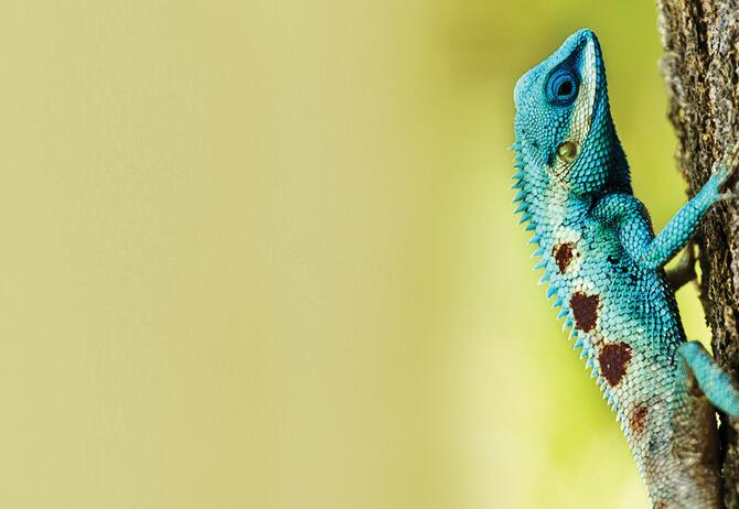 Teal brown colored chameleon on tree