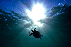 Turtles silhouette under water