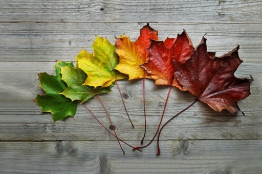 Row of maple leaves arranged in transitional autumn colours