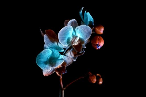 Blue orchid on a black background