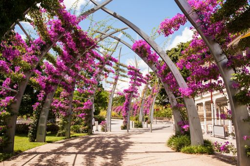 Bougainvillea flowers on arches