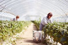 Farm worker harvests strawberry fruits in poly tunnel
