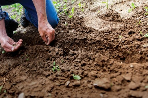 Farmer sowing seeds on land