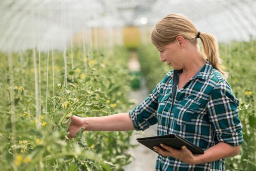 Female Farm Worker In Greenhouse Checking Tomato Plants