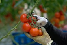 Gloved hands picking ripe red tomatoes