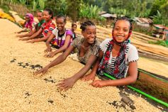 African girls and women sorting coffee beans on coffee farm, Ethiopia, Africa.
