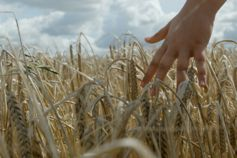 Hands in wheat crop grass