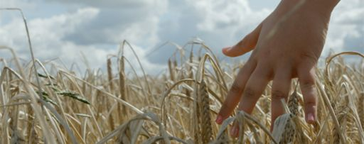 Hands in wheat crops grass